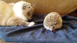 Kitten Sits On Hedgehog.  The Result: Not What Kitty Expected!