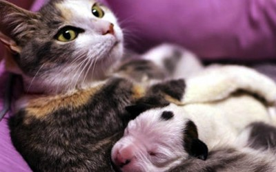 This Newborn Pitbull Puppy Was About To Die.  But Then This Cat Did Something Unbelievable.