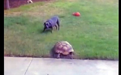 Video: The Fastest Tortoise Ever Chases A Pit Bull. The Dog's Reaction Is Hysterical!