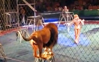 Circus Lion Has Enough Poking From The Trainer. Then The Lion Has Enough and Attacks.