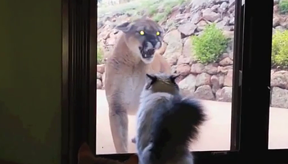 Super A Mountain Lion Approaches This House Cat. The Cat's Reaction? WOW! XJ12