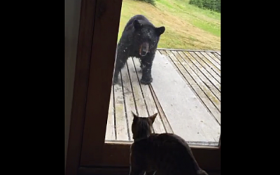 Watch As This Wild Bear and House Cat Meet Face To Face On The Porch