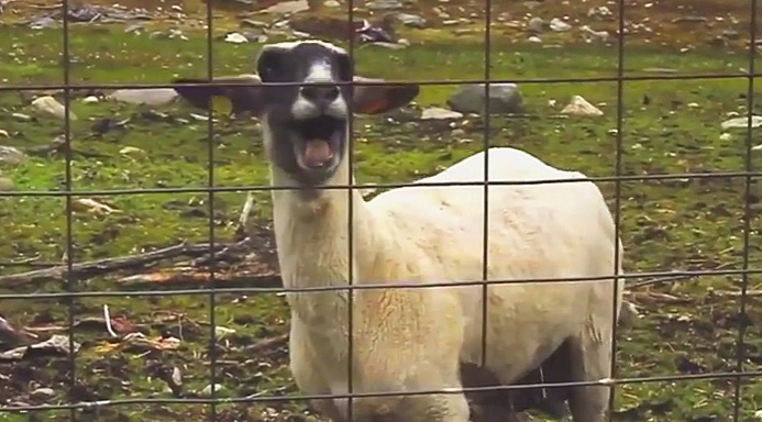 What do we call the sound a goat makes?