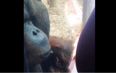 She Presses Her Pregnant Belly Onto The Glass. Now Watch The Orangutan's First Instincts Kick In.