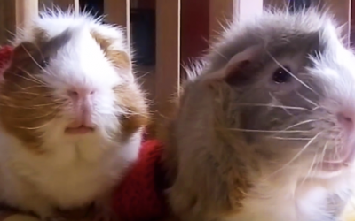 No One Believed Her When She Described Her Guinea Pigs Morning Ritual. So She Caught This Video.