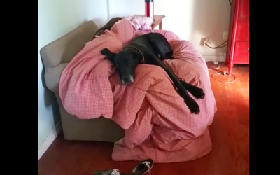 Human Catches This Guilty Great Dane After He Gets Into The Trash. The Dog's Reaction? Hilarious