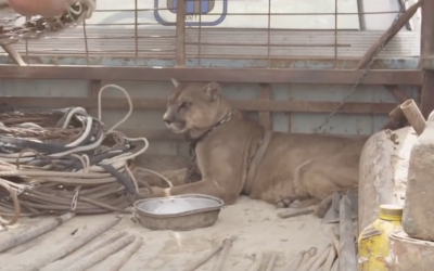 Neglected Circus Lion Lived In an Old Pick Up Truck For 20 Years. Now Watch His Reaction When They Free Him!