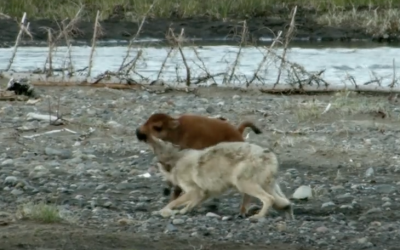 Wolf Decides To Attack This Helpless Baby Bison. But, The Result? WOW!