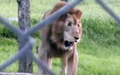 Neglected Circus Lion Spent 13 Years Locked In a Tiny Cage. Now Watch His Reaction When He's Freed First Time