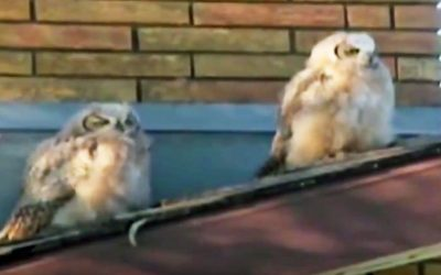 This Owl Poops On His Friend. Now Watch The Hysterical Confused Look On His Face When He Realizes.