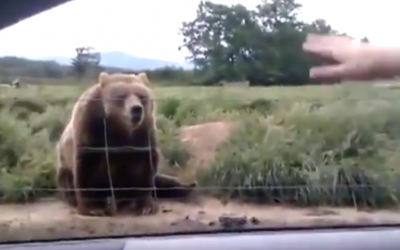 This Lady Waves At A Bear As They Drive By. How It Reacts? OMG!
