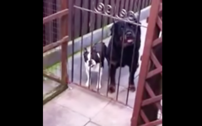 This Guy Says Hello To These 2 Pups. But How The Small One Responds? I Can't Stop Laughing!