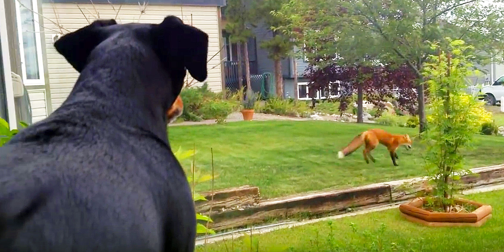 Dog Looks Out The Window And Sees a Fox Playing With His Toy. He Proceeds To Throw a Funny Tantrum.