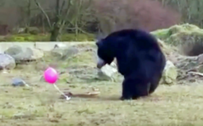 Watch These 3 Awkward Sloth Bears Confront a Strange Pink Balloon and Attempt To Play With It.