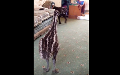 This Baby Emu May Look Awkward, But When The Dog Walks In The Room She Throws A Hysterical Fit