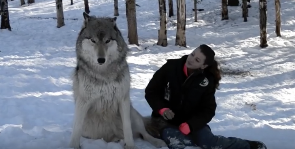 Giant Wolf Sits Down Next To This Lady But Watch The