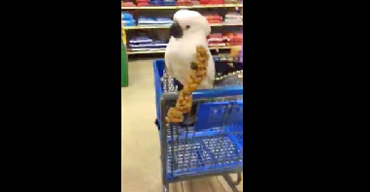 She Brings Her Cockatoo To The Store And Gets Him a Toy. The Bird Then Throws a Hysterical Tantrum