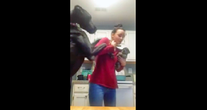 Great Dane Is Not Happy When Mom Holds The New Puppy. He Proceeds To Throw a Hysterical Hissy Fit.