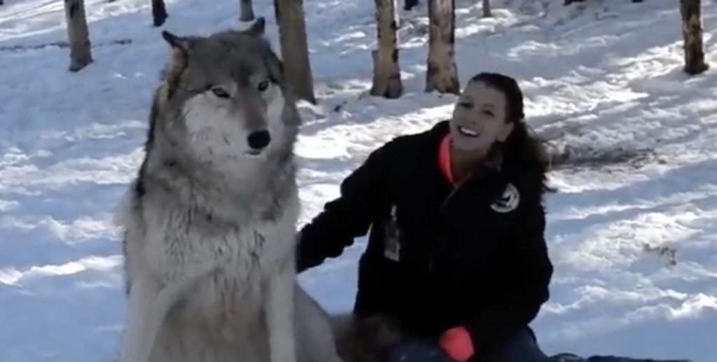 Giant Wolf Sits Down Next To This Lady But Watch The ...