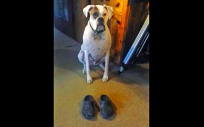 Human Puts Shoes on The Floor In Front of This Pup. The Dog Proceeds To Do a Hysterical Shuffle.