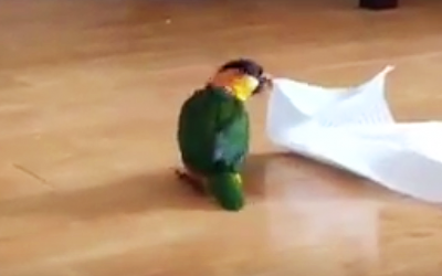 Adorable Parrot Notices a Paper Towel On The Floor. Then Has The Most Hysterical Freak Out Ever.