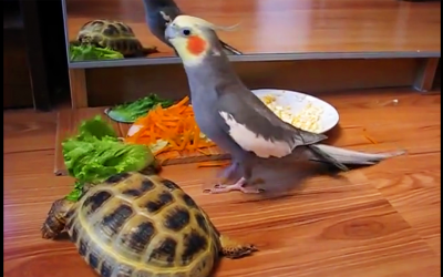Parrot Throws a Hysterical Fit When He Notices The Turtle In The Mirror