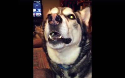 She Tells Her Husky He Can't Go Outside Again. The Dog Proceeds To Throw The Most Hysterical Tantrum.