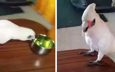 She Tricks This Parrot Into Eating Broccoli. But He Realizes and Throws The Most Hysterical Tantrum.