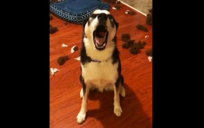 Human Confronts His Dog About The Mess. The Dog Denies It With The Most Hysterical Tantrum.