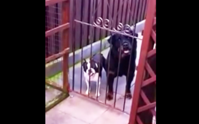 He Walks Past The Gate and Says Hello. The Little One Has The Most Hysterical Response Ever.