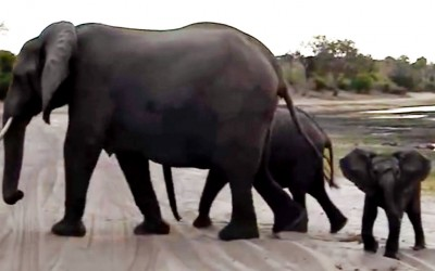 Baby Elephant Spots a Safari Watching Him. Seconds Later Everyone Is Cracking Up.