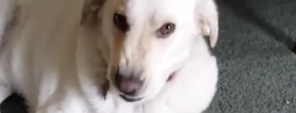 Mama Confronts Her Guilty Dog About The Missing Tater Tots. Now Watch How He Reveals The Evidence.