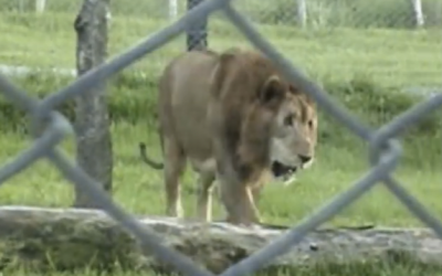 Circus Lion Is Released From His Cage After 13 Years. Watch As He Touches Grass For The First Time.