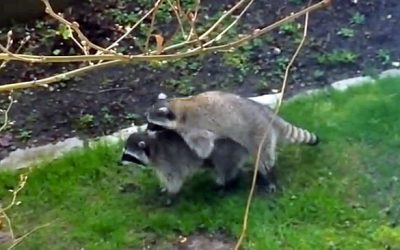 Family Watches A Male Raccoon Give 'The Heimlich Maneuver' To Female Raccoon. The Result Is Hilarious!