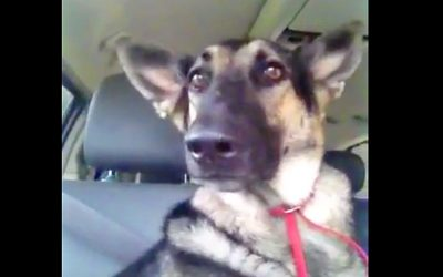 It Was Just A Regular Car Ride For This Dog Until The Music Started.