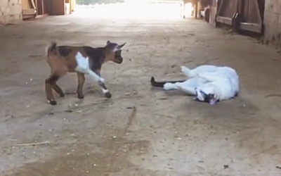 Two Adorable Baby Goats Meet The Barn Cat For The First Time