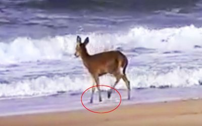 THIS Lost Deer Is Walking On The Edge Of The Ocean. But Watch When THIS Giant Wave Comes In!