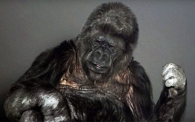Koko The Gorilla Has An Alarming Message For Humanity! This Gave Me Chills..