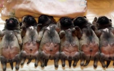 These Tired Puppies Are All Laying Down In A Row. But Watch When The One On The Left Does THIS