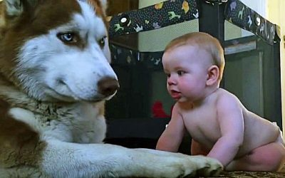 This Husky Attempts To Act Tough In Front Of The Baby. But After The Baby Does THIS I Lost It!