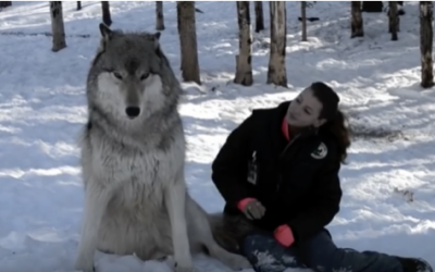 Giant Wolf Sits Down Next To This Woman Now Watch The Moment When Their Eyes Meet.