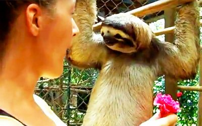 She Tries To Give This Adorable Sloth A Treat But He Wants THIS Unexpected Surprise From Her Instead!