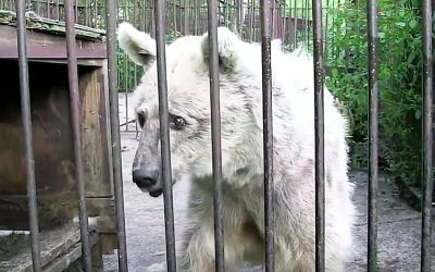 Watch This Depressed and Neglected Bear Chained For 30 Years Finally Get It's Freedom For The First Time