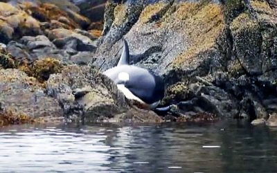 Terrified Orca Was Stranded and Desperately Crying For Help. But Then The UNTHINKABLE Occurs!