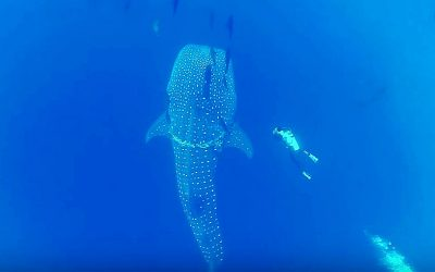 A Giant Whale Shark Swims Near This Diver Then He Realizes Something Was Seriously Wrong!