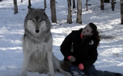 Huge Wolf Sits Down Next To This Lady. Now Watch The Moment When Their Eyes Meet.