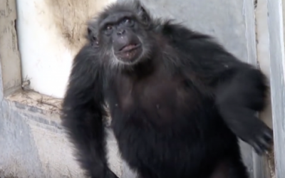 This Rescued Chimp Who Spent His Entire Life In a Lab Is Released Outside For The First Time
