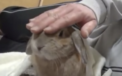 Each Time This Spoiled Lil Rabbit's Dad Stops Petting Him The Bunny Throws The Funniest Tantrum!