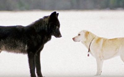 Watch This Unthinkable Moment When a Pet Dog Is Approached By a Wild Wolf!
