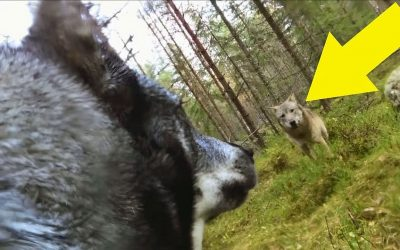 Man Placed GoPro On His Dog But When He Watches The Video He Sees A Bone Chilling Surprise!